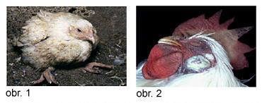 ptačí chřipka - obr 1 a 2